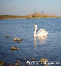 Озеро Сасык-Сиваш. Лебеди здесь живут и летом, и зимой. Фото Ольги Иутиной