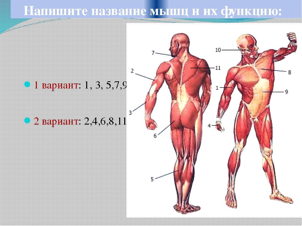 Напишите название мышц и их функцию: 1 вариант: 1, 3, 5,7,9 2 вариант: 2,4,6,...