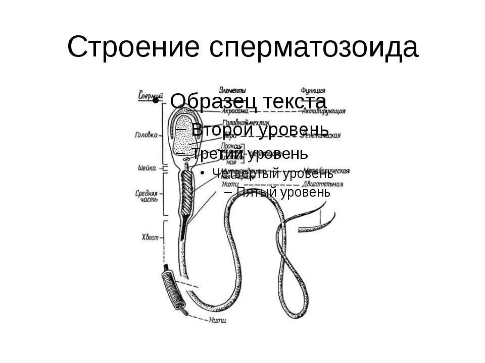 spermatozoid-i-ih-harakteristika