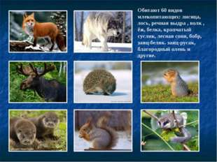 Обитают 60 видов млекопитающих: лисица, лось, речная выдра , волк , ёж, белка