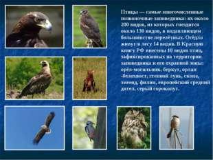 Птицы— самые многочисленные позвоночные заповедника: их около 200 видов, из