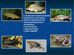В заповеднике также встречаются 39 видов рыб, все 39 видов обитают в реке Вор