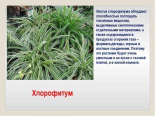 Листья хлорофитума обладают способностью поглощать токсичные вещества, выделя