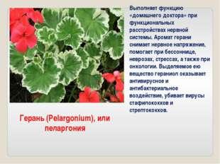 Герань (Pelargonium), или пеларгония Выполняет функцию «домашнего доктора» пр