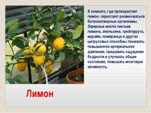 Лимон В комнате, где произрастает лимон, перестают размножаться болезнетворны