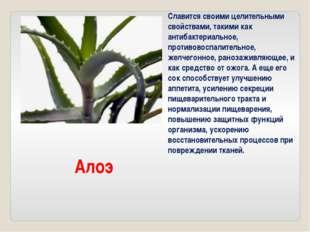 Алоэ Славится своими целительными свойствами, такими как антибактериальное, п
