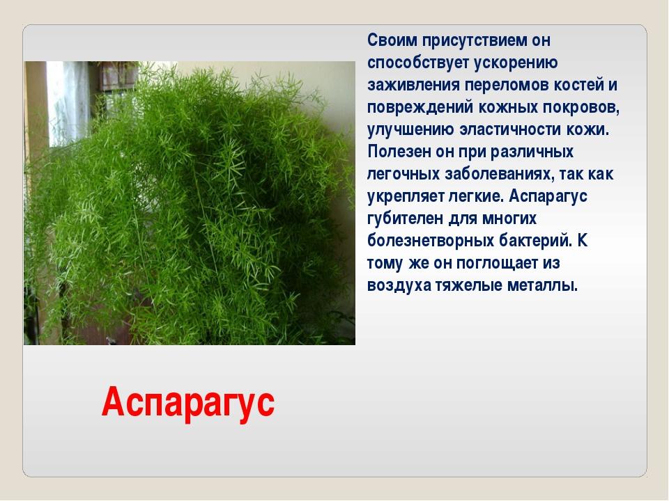 Аспарагус Своим присутствием он способствует ускорению заживления переломов к...
