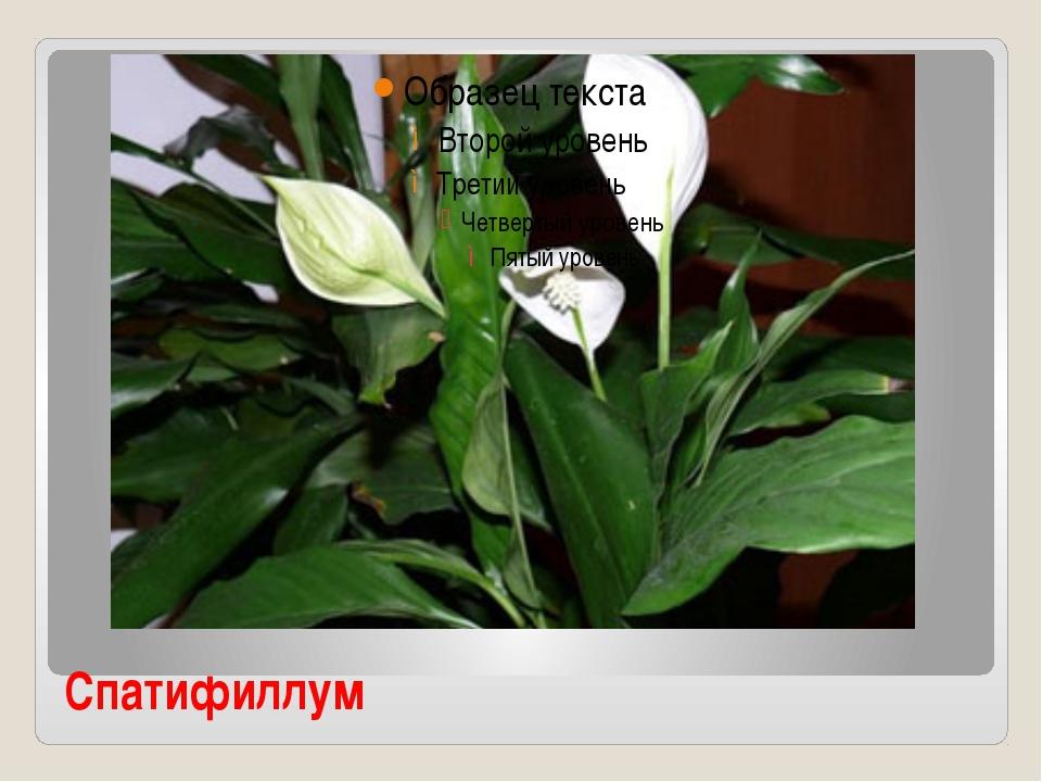 Комнатный цветок женское счастье и описание