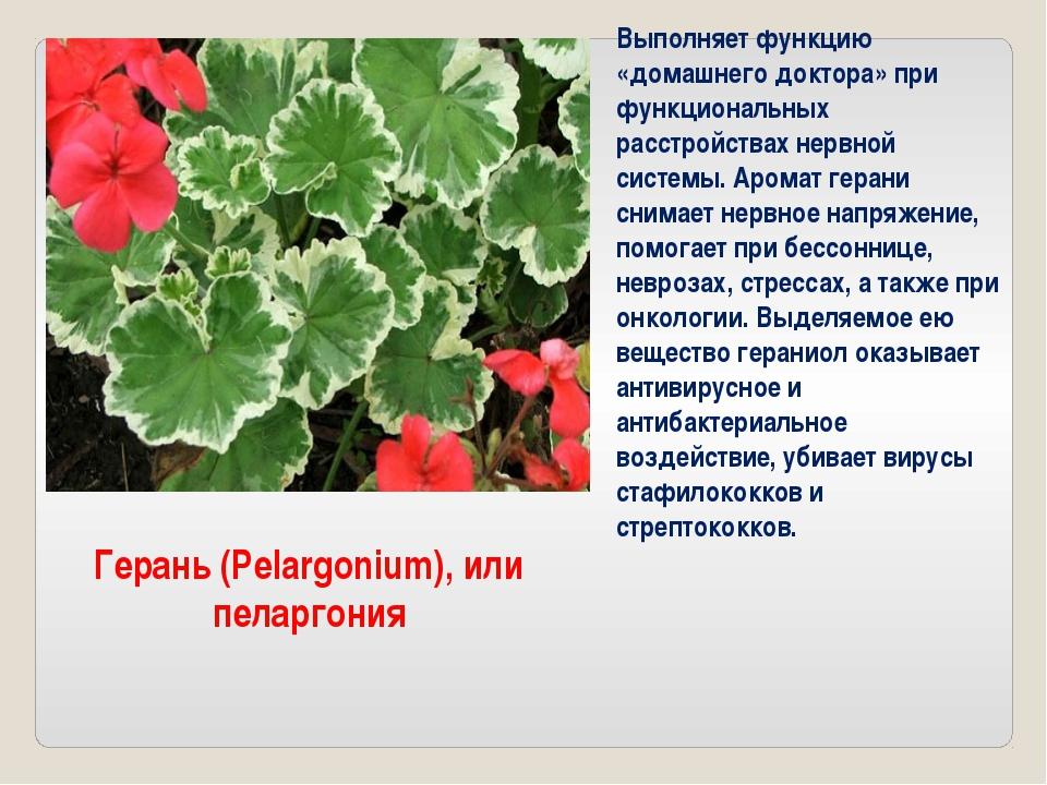 Герань (Pelargonium), или пеларгония Выполняет функцию «домашнего доктора» пр...