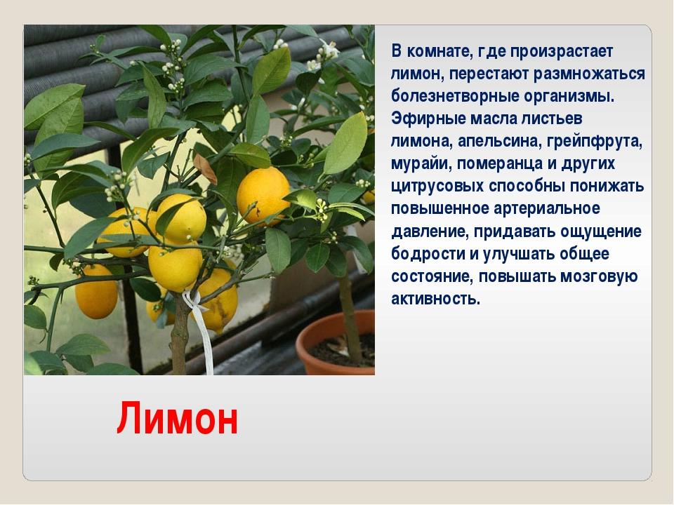 Лимон В комнате, где произрастает лимон, перестают размножаться болезнетворны...