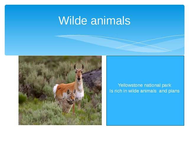 Wilde animals Yellowstone national park Is rich in wilde animals and plans