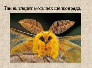 Так выглядит мотылек шелкопряда.