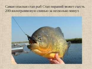 Самая опасная стая рыб Стая пираний может съесть 200-килограммовую свинью за