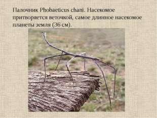 Палочник Phobaeticus chani. Насекомое притворяется веточкой, самое длинное на