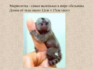 Мармозетка - самая маленькая в мире обезьянка. Длина её тела около 12см + 15с
