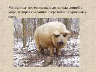 Мангалица- это единственная порода свиней в мире, которая сохранила шерстяной