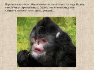 Бирманская курносая обезьяна известна науке только три года. В связи с необыч