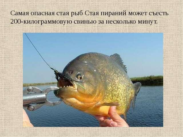 Самая опасная стая рыб Стая пираний может съесть 200-килограммовую свинью за...
