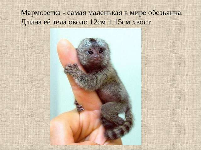 Мармозетка - самая маленькая в мире обезьянка. Длина её тела около 12см + 15с...