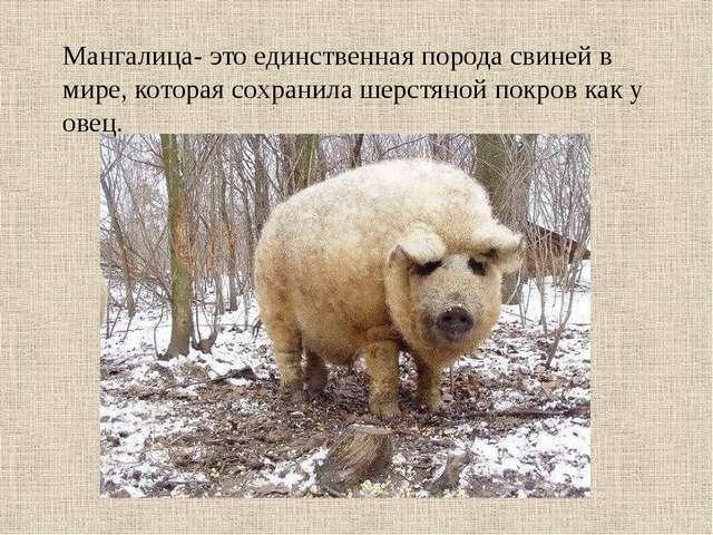 Мангалица- это единственная порода свиней в мире, которая сохранила шерстяной...