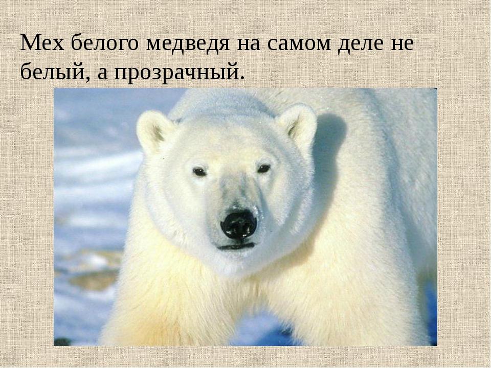 Мех белого медведя на самом деле не белый, а прозрачный.