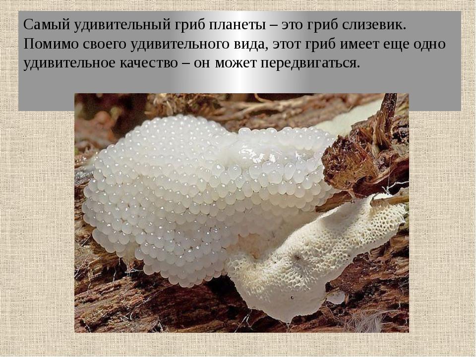 Самый удивительный гриб планеты – это гриб слизевик. Помимо своего удивительн...