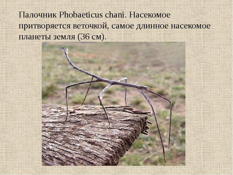 Палочник Phobaeticus chani. Насекомое притворяется веточкой, самое длинное на...