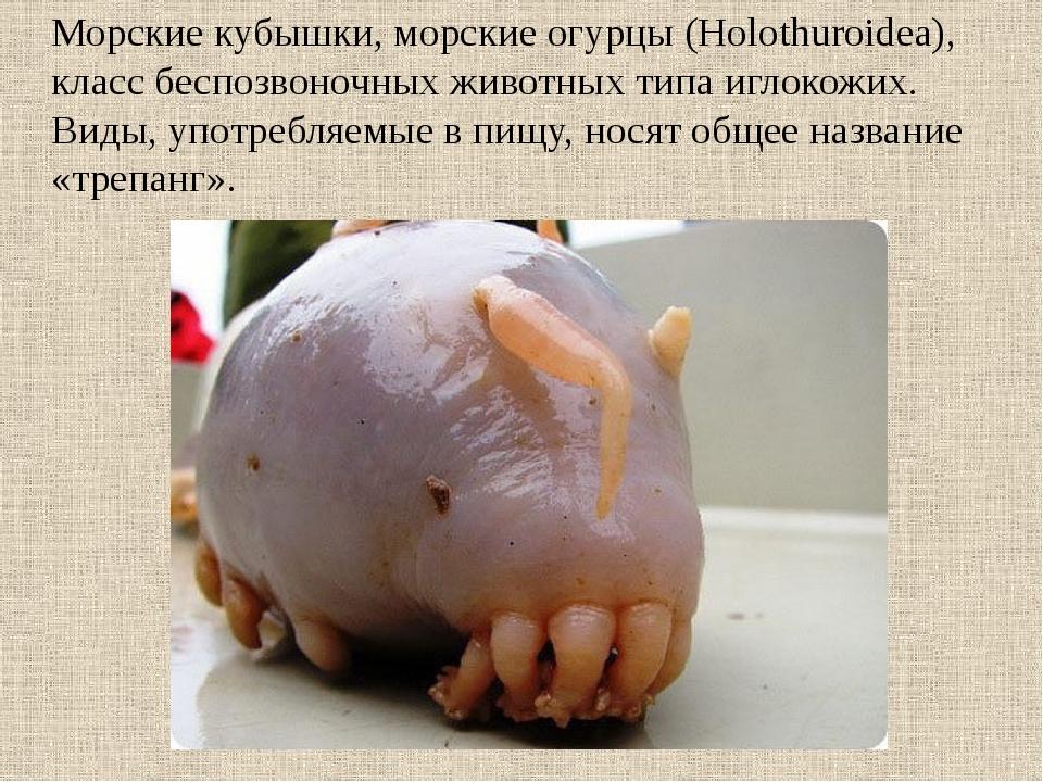 Морские кубышки, морские огурцы (Holothuroidea), класс беспозвоночных животны...