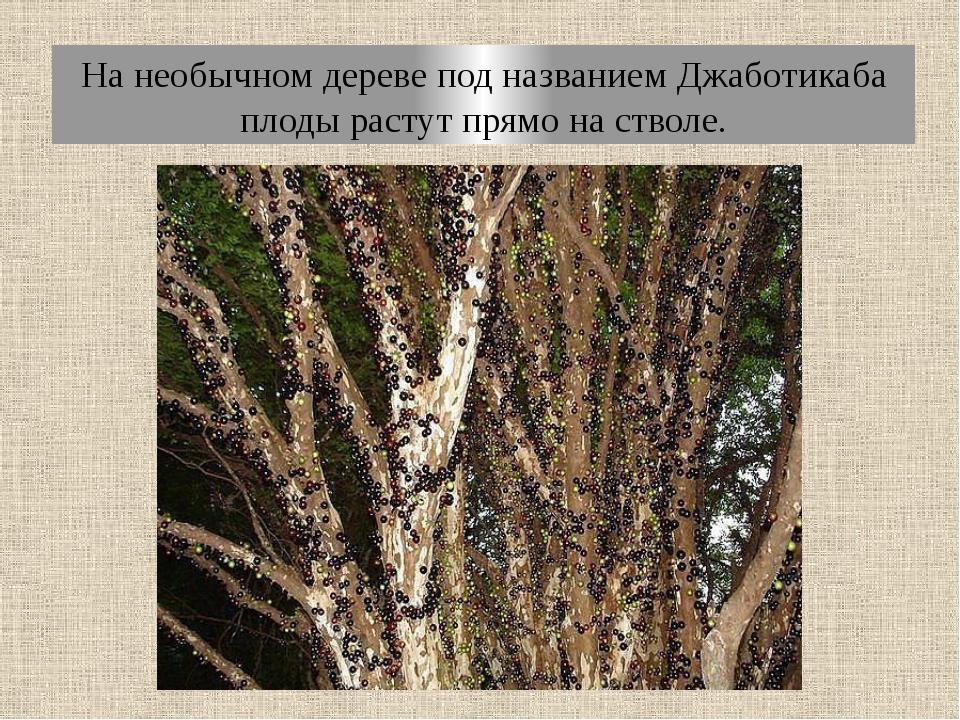 На необычном дереве под названием Джаботикаба плоды растут прямо на стволе.