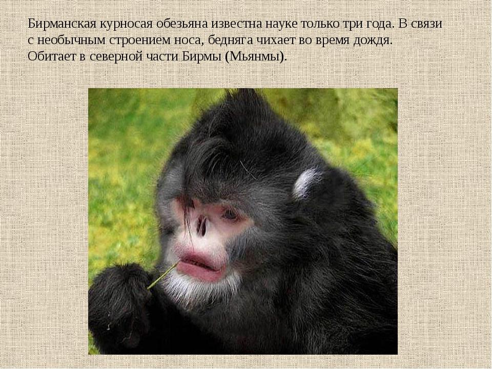 Бирманская курносая обезьяна известна науке только три года. В связи с необыч...
