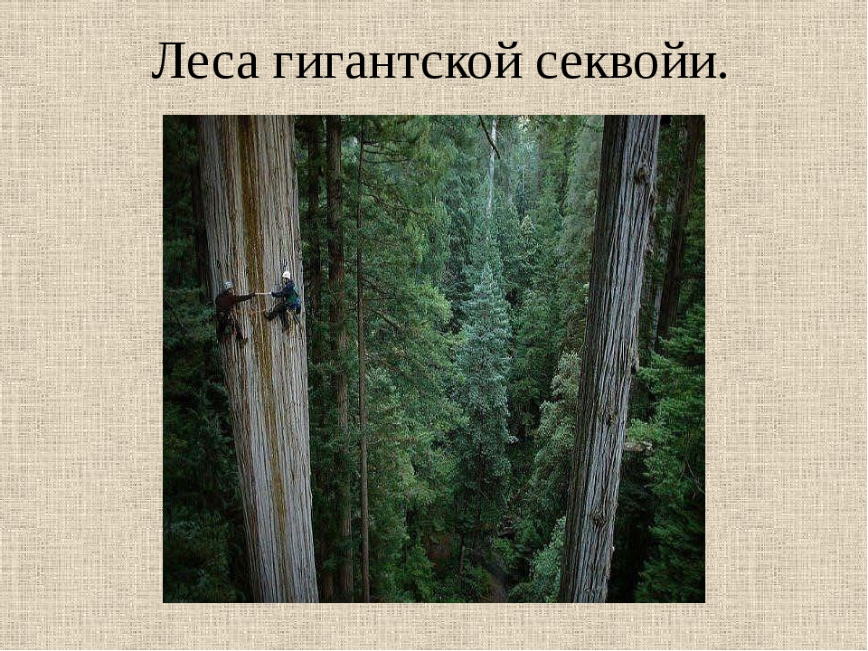 Леса гигантской секвойи.