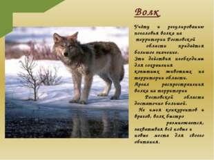 Волк Учёту и регулированию поголовья волка на территории Ростовской области п
