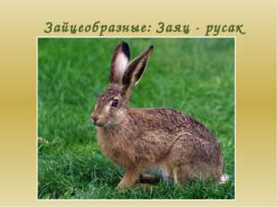 Зайцеобразные: Заяц - русак