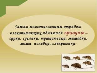 Самым многочисленным отрядом млекопитающих являются грызуны – сурки, суслики