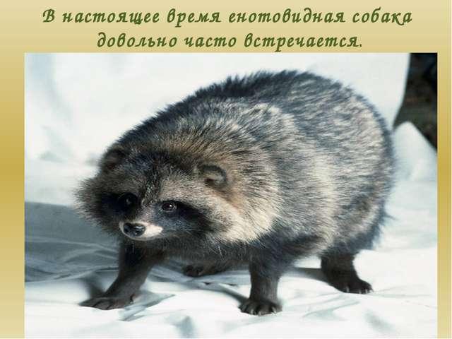 В настоящее время енотовидная собака довольно часто встречается.