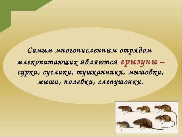 Самым многочисленным отрядом млекопитающих являются грызуны – сурки, суслики...