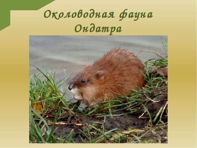 Околоводная фауна Ондатра