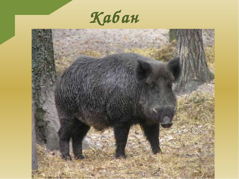 Кабан