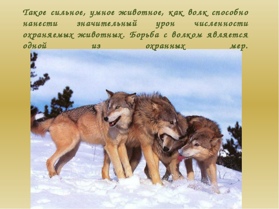 Такое сильное, умное животное, как волк способно нанести значительный урон чи...