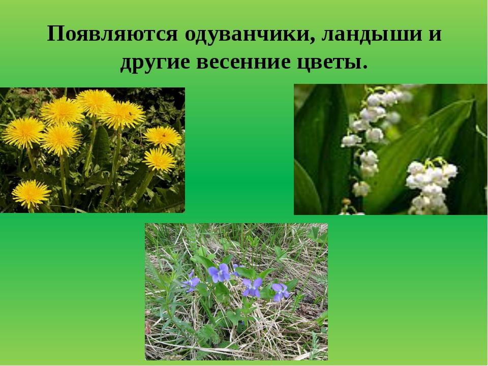 Появляются одуванчики, ландыши и другие весенние цветы.