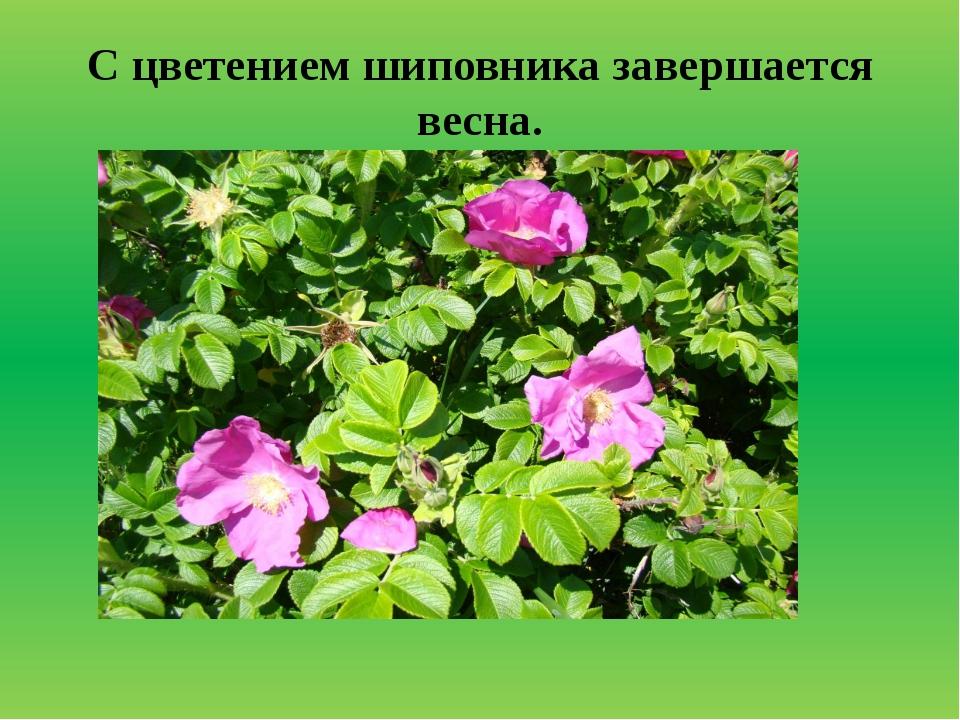 С цветением шиповника завершается весна.