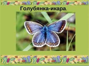 Голубянка-икара.