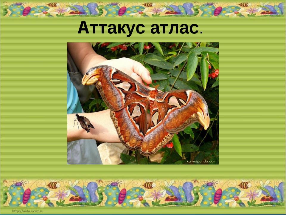 Аттакус атлас.