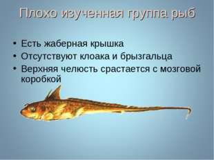Плохо изученная группа рыб Есть жаберная крышка Отсутствуют клоака и брызгаль