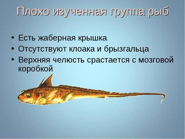 Плохо изученная группа рыб Есть жаберная крышка Отсутствуют клоака и брызгаль...
