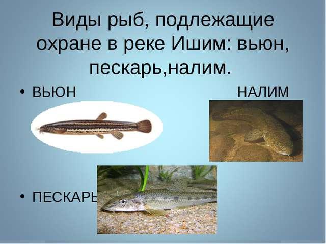 Виды рыб, подлежащие охране в реке Ишим: вьюн, пескарь,налим. ВЬЮН НАЛИМ ПЕ...