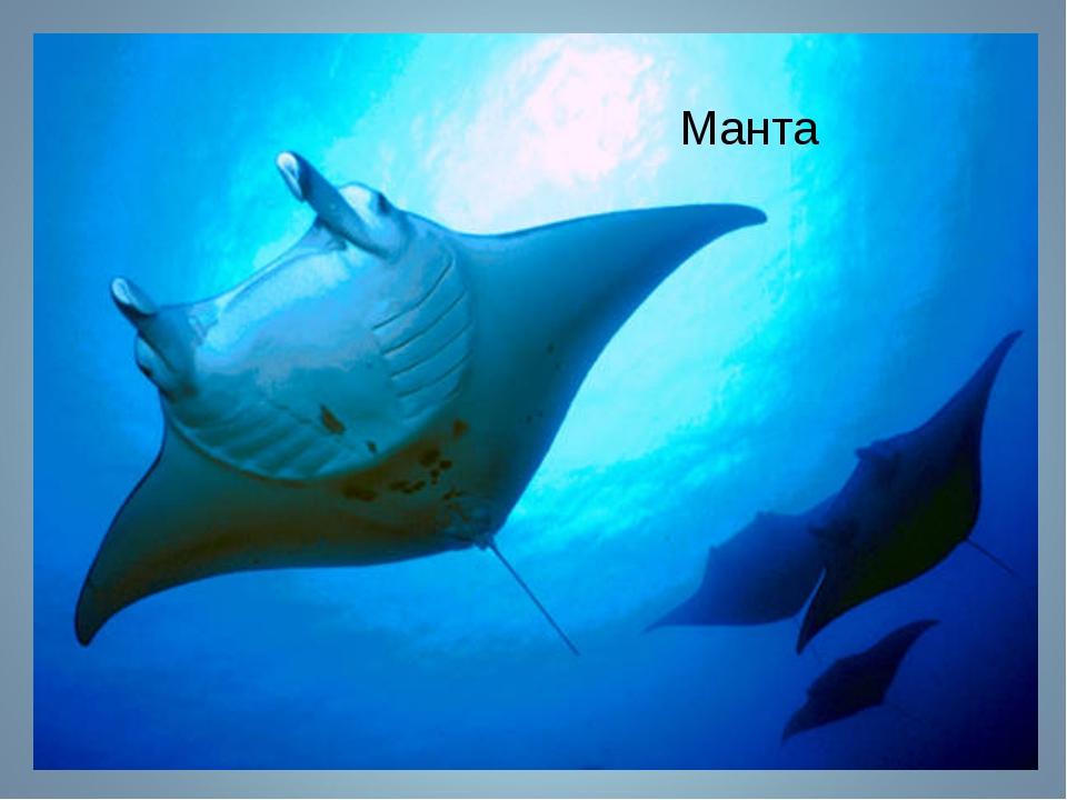Манта