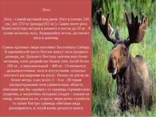 Лось Лось - самый крупный вид дичи. Рост в плечах 240 см , вес 570 кг (рекорд