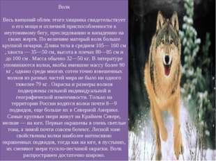 Волк Весь внешний облик этого хищника свидетельствует о его мощи и отличной п
