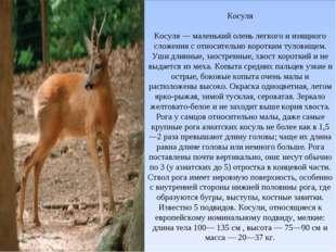 Косуля Косуля — маленький олень легкого и изящного сложения с относительно ко